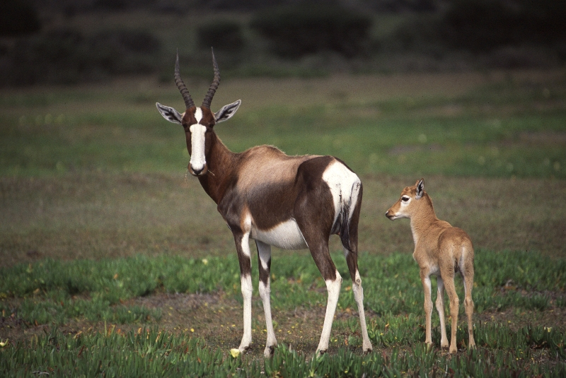 Bontebok - mother & calf.jpg