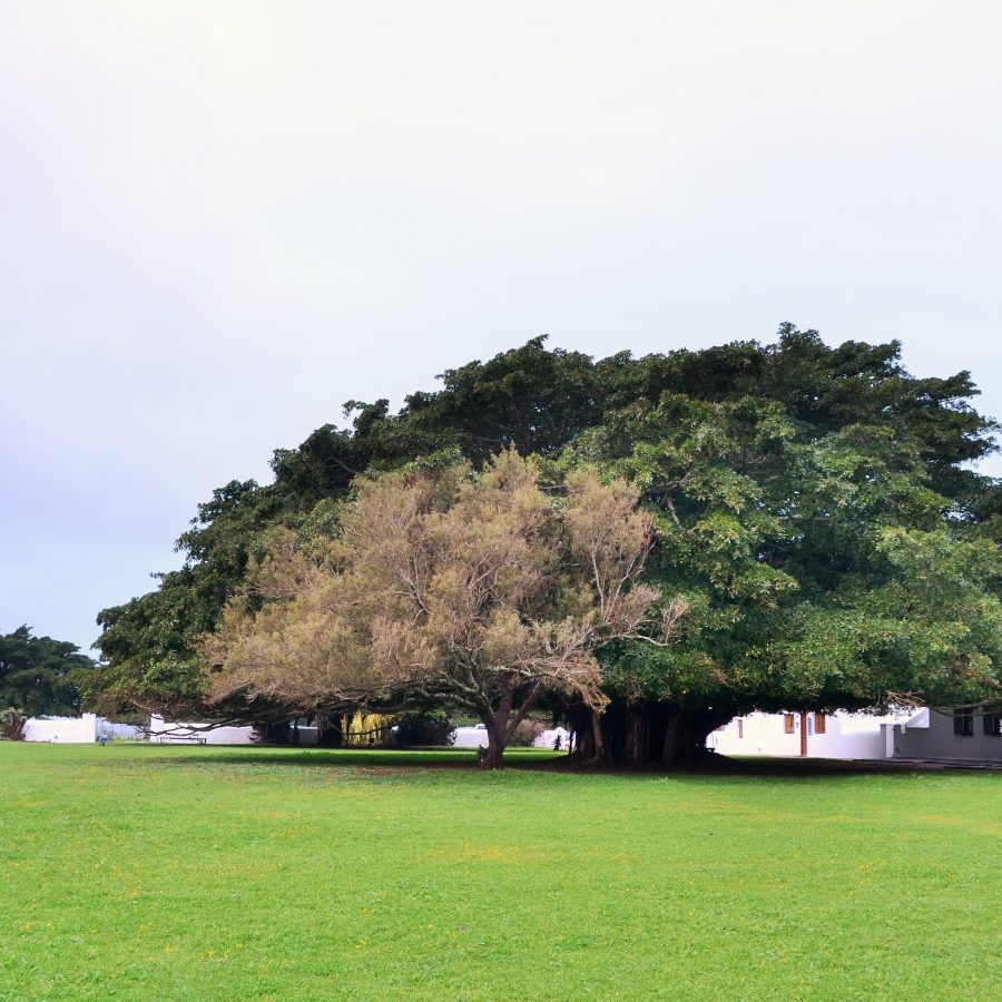 Courtyard Figtree.JPG